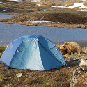 Grizzly bear in camp